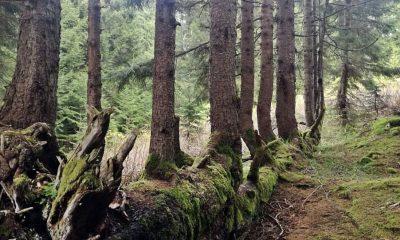 300 yıllık ağaç, gövdesinde 17 ağaç büyüttü