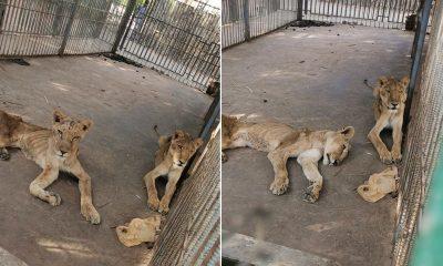 Hayvanat bahçesinde açlıktan ölmek üzere olan aslanlar yaşam mücadelesi veriyor