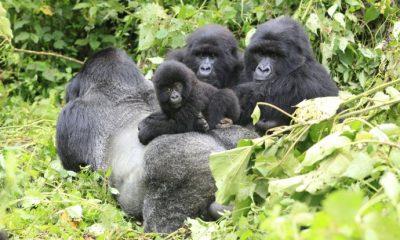 Nesli tükenmekte olan biri hamile olan dört dağ gorili yıldırım çarpması sonucu öldü