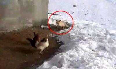 Erzurumlu çiftçiden tavuklarını yemek isteyen tilkiye: Kızım bunlar bizim tavuklar sana yedirmeyiz