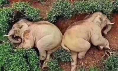 30 kiloluk mısır şarabını içen filler sarhoş oldu