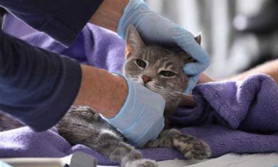 ABD'de iki ev kedisinde Koronavirüs tespit edildi