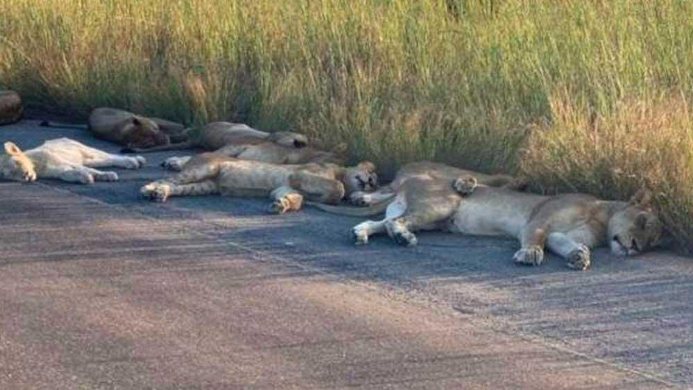 Güney Afrika'da Kruger Ulusal Parkı asıl sahipleri olan aslanlara kaldı