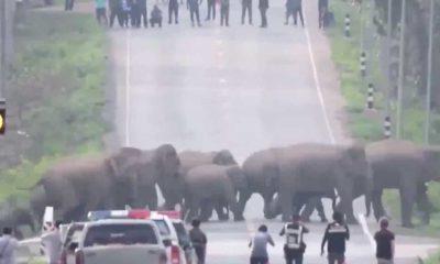 Tayland'da fil sürüsü kameralara yansıdı