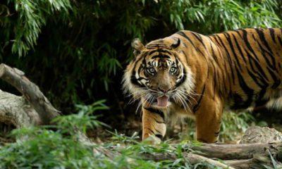 Hayvanat Bahçesinde tutulan kaplan Nadia'ya koronavirüs bulaştı