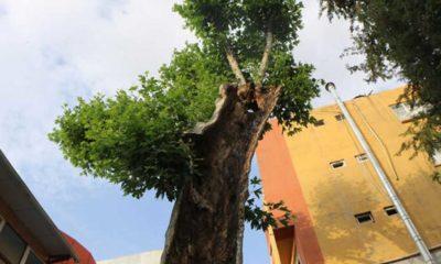 Çürüdü diye kesilmesi planlanan 400 yıllık ağaç, bakımla yeniden yeşerdi