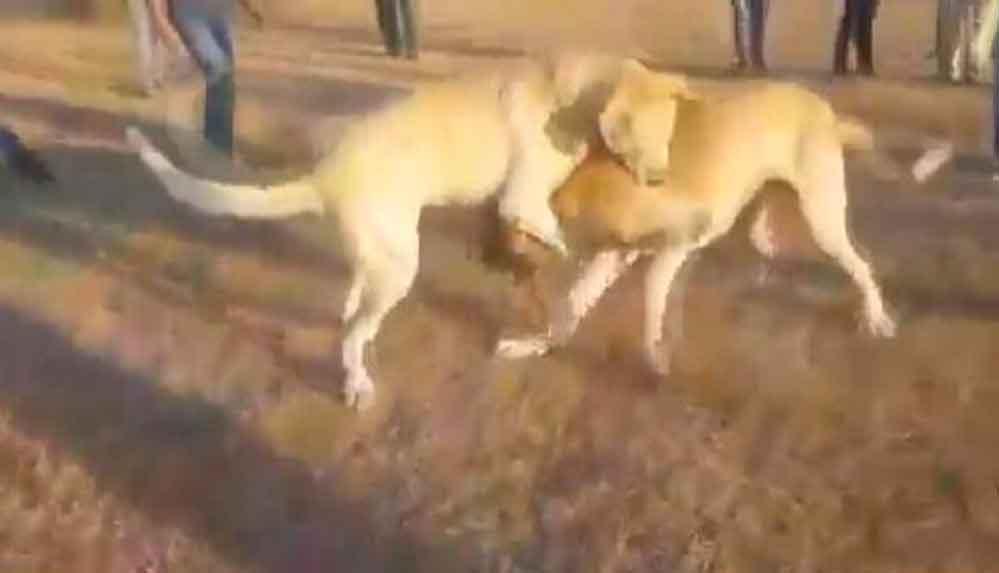 Köpekleri acımasızca dövüştürüp o anları kaydettiler