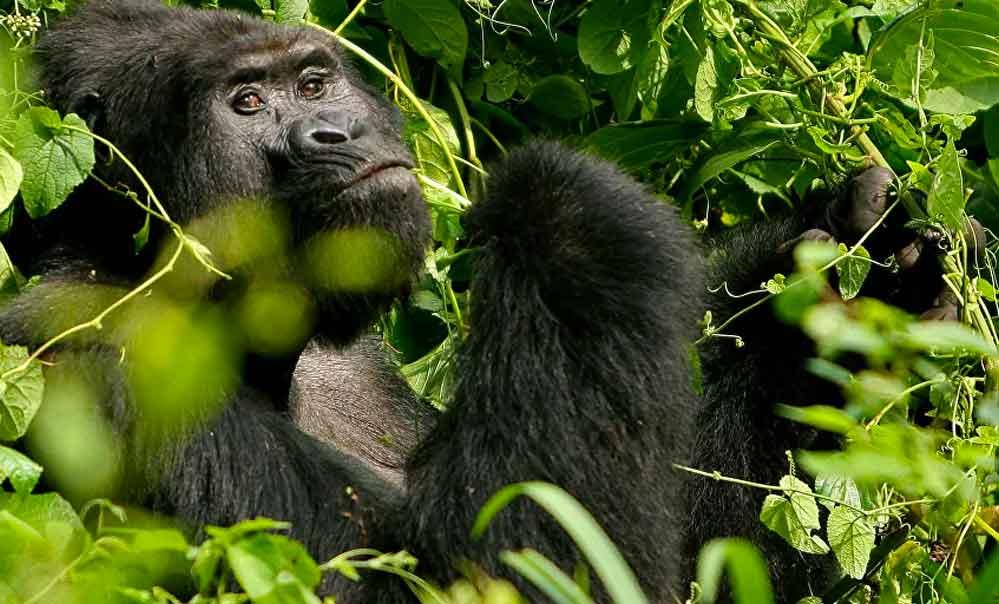 Uganda'da soyu tükenmekte olan ünlü dağ gorili avcılar tarafından öldürüldü