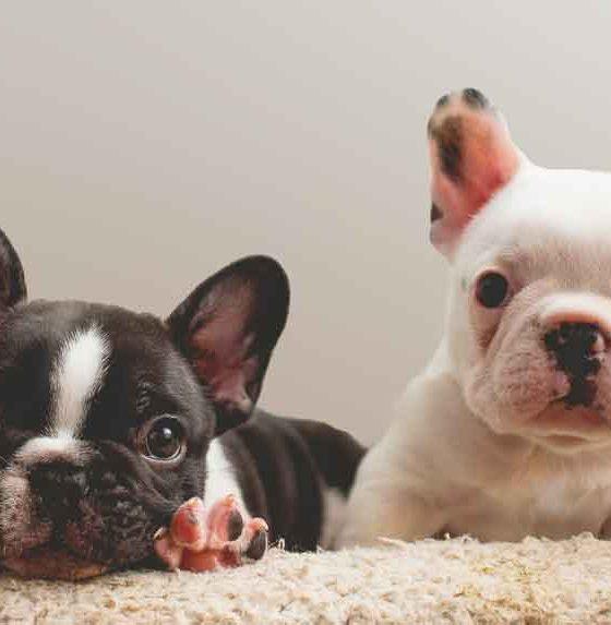 Ukrayna'dan Kanada'ya götürülen 500 yavru köpekten 38'i uçakta ölü bulundu