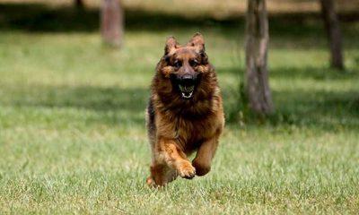 Köpekler koronavirüsün kokusunu alabiliyor