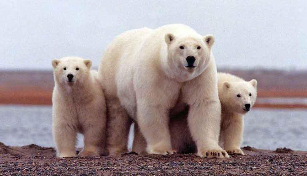 """""""Kutup ayılarının nesli bu yüzyıl içinde tükenebilir"""""""
