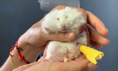 Ayağı kırılan 25 gramlık hamster 'Böğürtlen'e pim takıldı