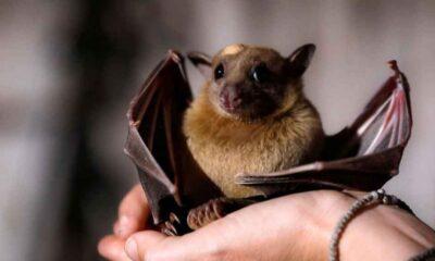 Koronavirüsün yarasalarda yıllardır dolaştığı keşfedildi