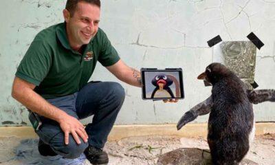 Koruma altına alınan penguene yalnızlık çekmesin diye Pingu izletiliyor
