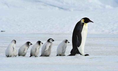 Penguenlerin Antarktika'ya başka yerden geldiği keşfedildi