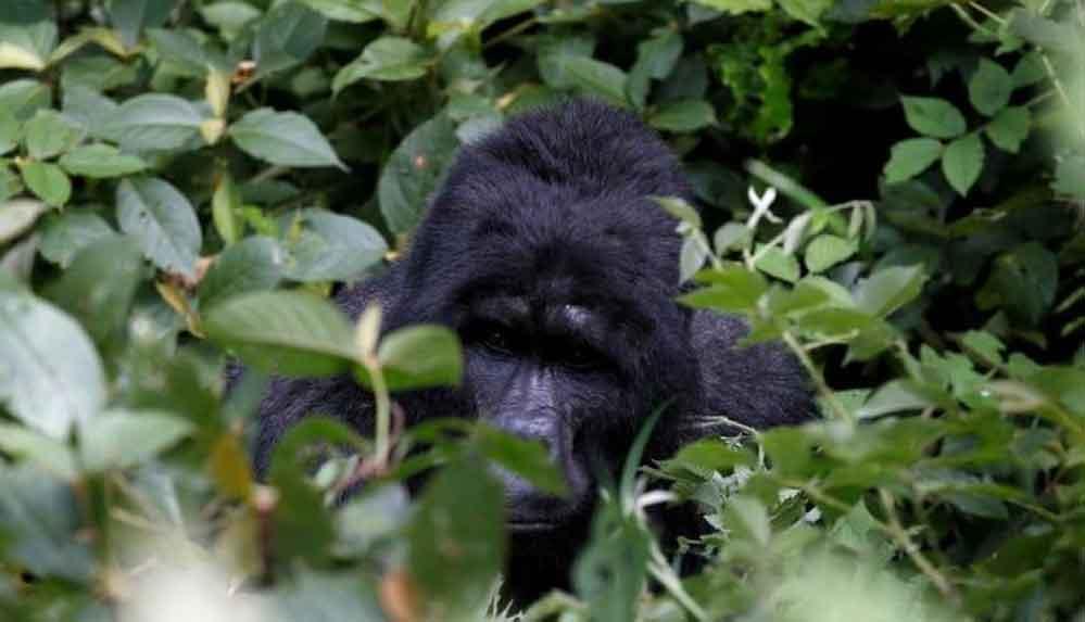 Uganda'da goril öldüren kişiye 11 yıl hapis cezası verildi