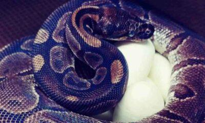 20 yıldır yanına erkek yılan yaklaşmayan 62 yaşındaki dişi piton yumurtladı