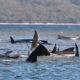 Avustralya'da 300'e yakın balina sığ sularda mahsur kaldı