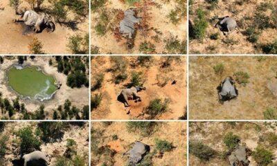 Botsvana'da yüzlerce filin öldü, bilim insanları nedenini açıkladı