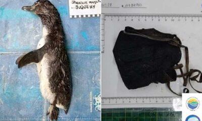 Brezilya'da ölen penguenin midesinden N95 maske çıktı