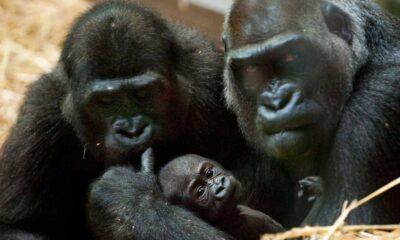 İsviçre'nin Basel kentinde primatların yaşam hakları için halk oylaması yapılacak