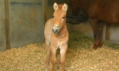 Klonlanan ilk Przewalski atı doğdu