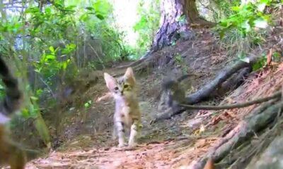 """Korkunç iddia: """"Kedilere benzin döküp ormanları yakıyorlar"""""""