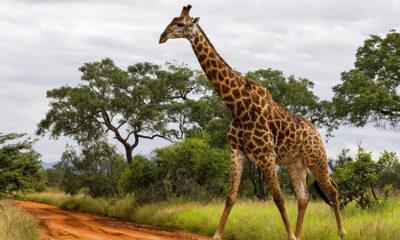 Yıldırım çarpan iki zürafa, boy uzunluğunun riski artırdığını gösterdi