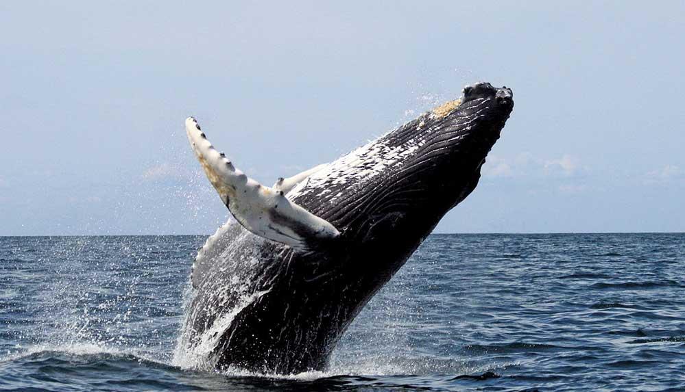 Balinaların neslinin tükenme tehlikesi 'gerçek ve yakın'