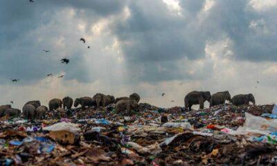 Çöp yığınlarında yiyecek arayan fil sürüsünün çarpıcı fotoğrafına ödül