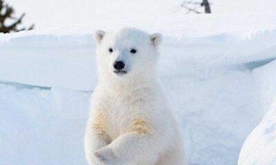 Kanada'da askeri helikoptere kutup ayısı saldırısı