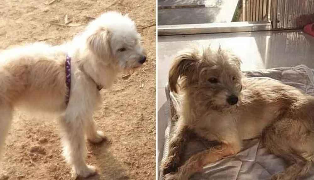 Terk edilen köpek 60 kilometre yürüyüp evine geri döndü