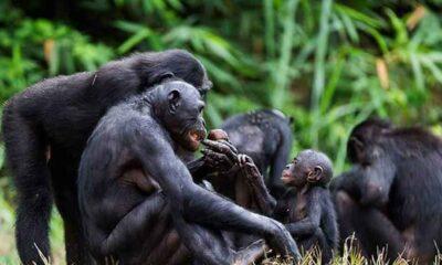 Şempanzeler de insanlar gibi yaşlandıkça huzur arıyor, karşılığını alabildiği arkadaşlıklar kuruyor