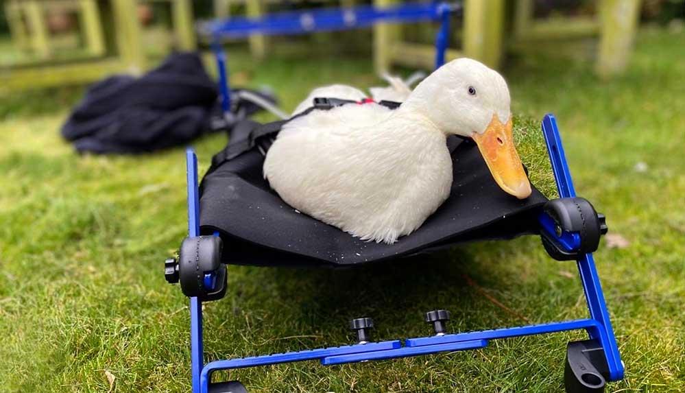 Tek ayağı olmayan ördek 'Stumble' için tekerlekli iskemle yaptırdılar