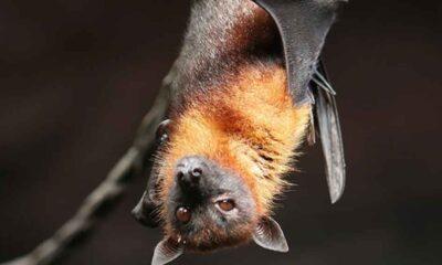 Vampir yarasalar hasta olduklarında 'sosyal mesafeyi koruyor'