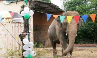 'Dünyanın en yalnız fili'ne veda partisi yapıldı