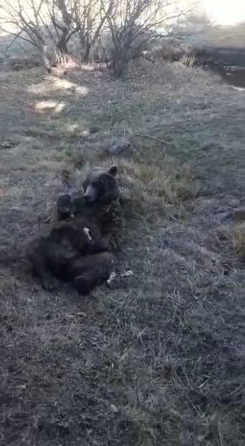 Yaralı boz ayıyı tavuk eti ile beslemeye çalıştılar