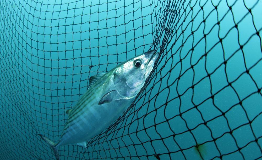 Bilinçsiz av lüferin sonunu getiriyor