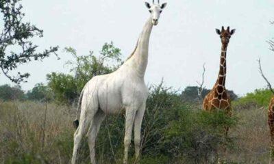 Ailesi Mart'ta öldürülen dünyanın bilinen tek beyaz zürafası korumaya alındı