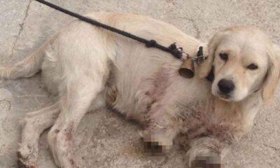 Bu nasıl Vicdansızlık! Samsun'da iki bacağı kesilmiş yavru köpek bulundu