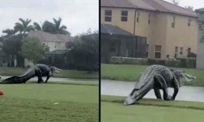 Devasa timsah Florida'daki golf sahasına görüldü