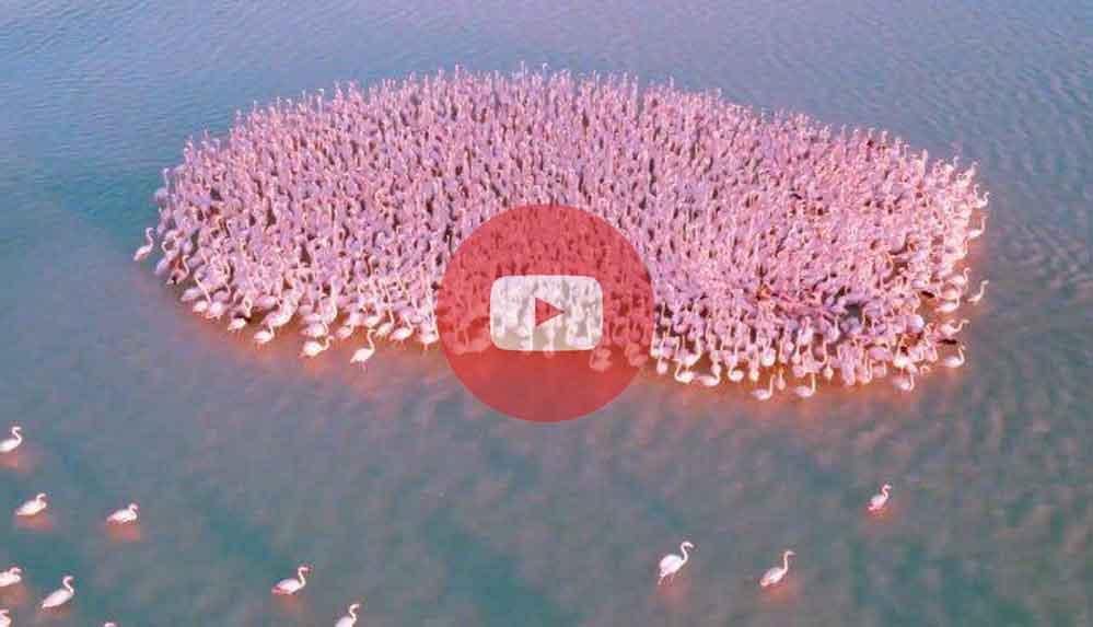 Flamingoların göç yolu Kazakistan'da verdiği moladan eşsiz güzellikte görüntüler