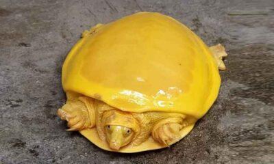 Hindistan'da keşfedilen sarı renkli kaplumbağa sosyal medyada viral oldu