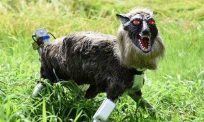 Japonya'da ayılara karşı 'canavar kurt robotlar' devrede
