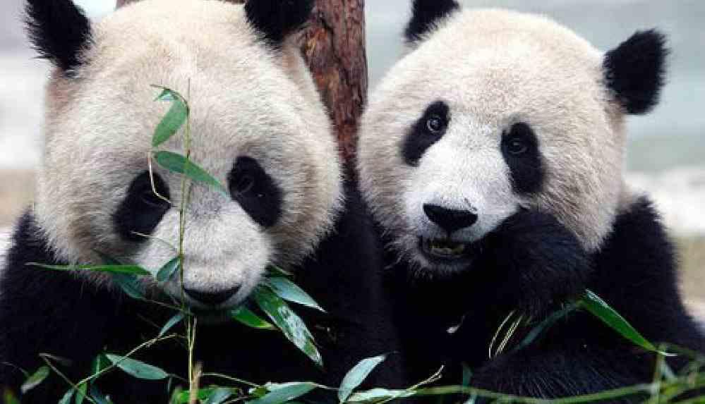 Kanada'daki iki panda 'bambu kıtlığı' nedeniyle Çin'e döndü