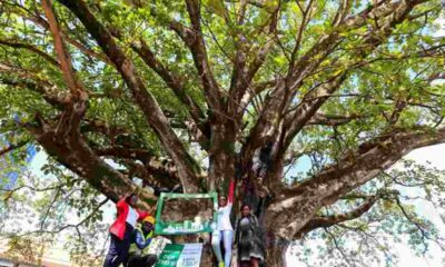 Kenya başkanı asırlık ağacı yol yapımı için kesilmekten kurtardı