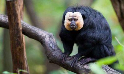 Maymunların trafik gürültüsünü ormandaki seslere tercih ettiği ortaya çıktı