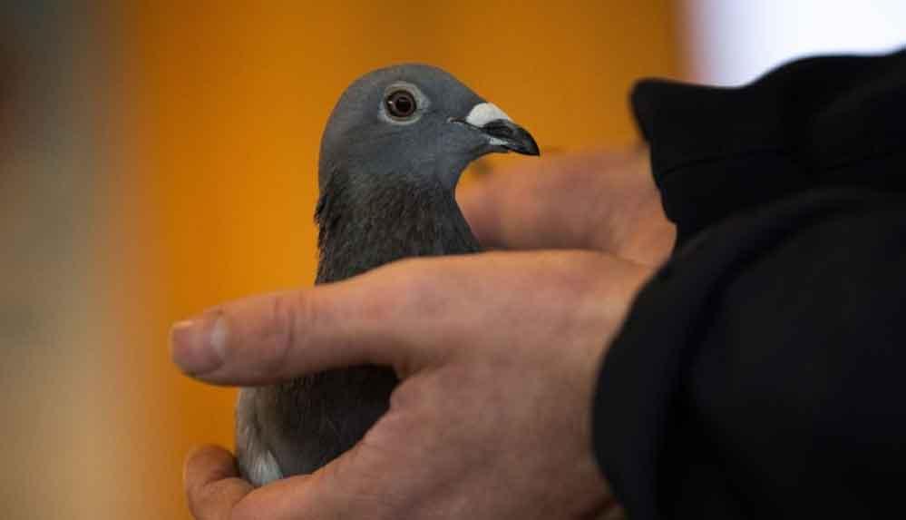 """""""New Kim"""" adlı posta güvercini açık artırmada 1,6 milyon euroya satıldı"""