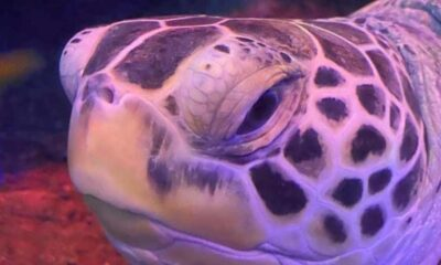 Obez kaplumbağa Cammy diyete başladı