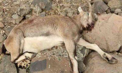 Tunceli'de avcılar, koruma altındaki yaban keçisini öldürdü